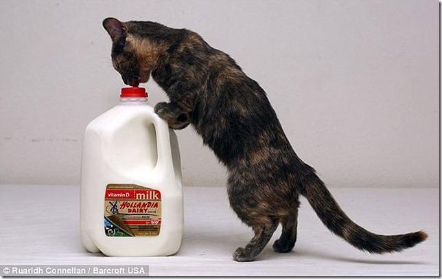 piksel koshka s samymi korotkimi lapkami v mire 4 Пиксель — кошка с самыми короткими лапками в мире