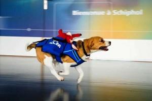 niderlandskaya aviakompaniya trudoustroila psa po klichke sherlok Нидерландская авиакомпания трудоустроила пса по кличке Шерлок