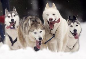 iz aeroporta norvegii teper mojno uehat na sobakah Из аэропорта Норвегии теперь можно уехать на собаках