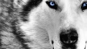 nedaleko ot parija zamecheny volki Недалеко от Парижа замечены волки