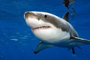 v santa barbare razgulyalis akuly В Санта Барбаре разгулялись акулы