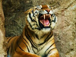 turist postradal ot napadeniya tigra Турист пострадал от нападения тигра