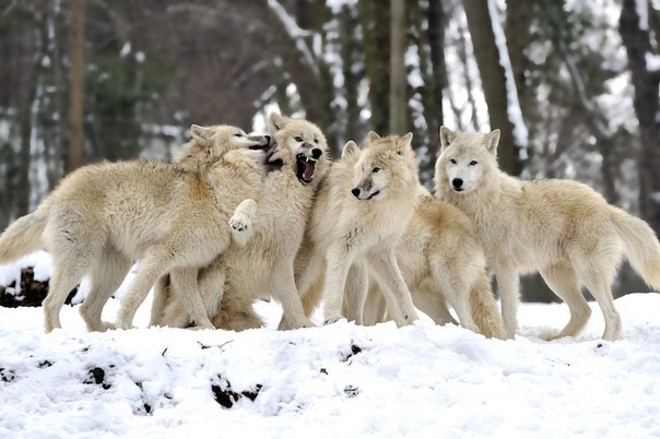 vajnost volkov v ekosisteme Важность волков в экосистеме