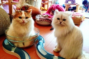 v jeneve poyavitsya bar s koshkami В Женеве появится бар с кошками