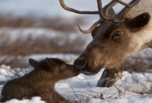 nacionalnyi park komi zabotitsya ob olenyah Национальный парк Коми заботится об оленях