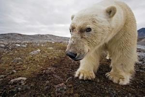 belyi medved napal na turistov v shpicbergene Белый медведь напал на туристов в Шпицбергене