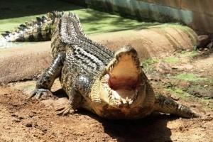 netrezvyi turist edva ne stal dobychei krokodila v zooparke kankuna Нетрезвый турист едва не стал добычей крокодила в зоопарке Канкуна