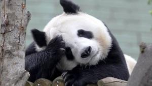 zoopark edinburga pokazal zabavnoe video s pandoi Зоопарк Эдинбурга показал забавное видео с пандой