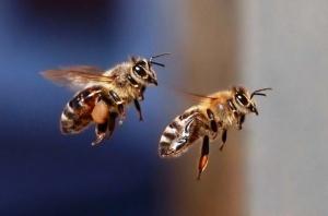 samolet podvergsya atake tysyach pchel vo vnukovo Самолет подвергся атаке тысяч пчел во Внуково