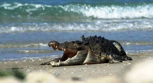 krokodil napugal rossiyan v goa Крокодил напугал россиян в Гоа
