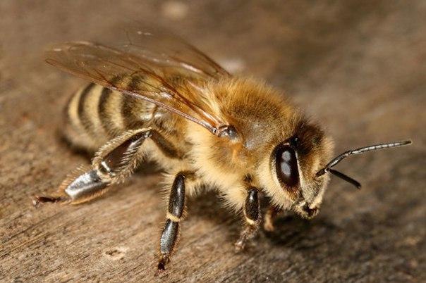 pochemu pchela umiraet posle togo kak ujalit Почему пчела умирает после того, как ужалит?