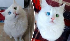 eksperty vybrali samogo krasivogo v mire kota Эксперты выбрали самого красивого в мире кота