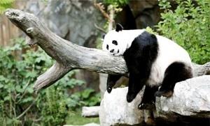 moskovskii zoopark obzavedetsya novym pavilonom s jivotnymi iz kitaya Московский зоопарк обзаведется новым павильоном с животными из Китая