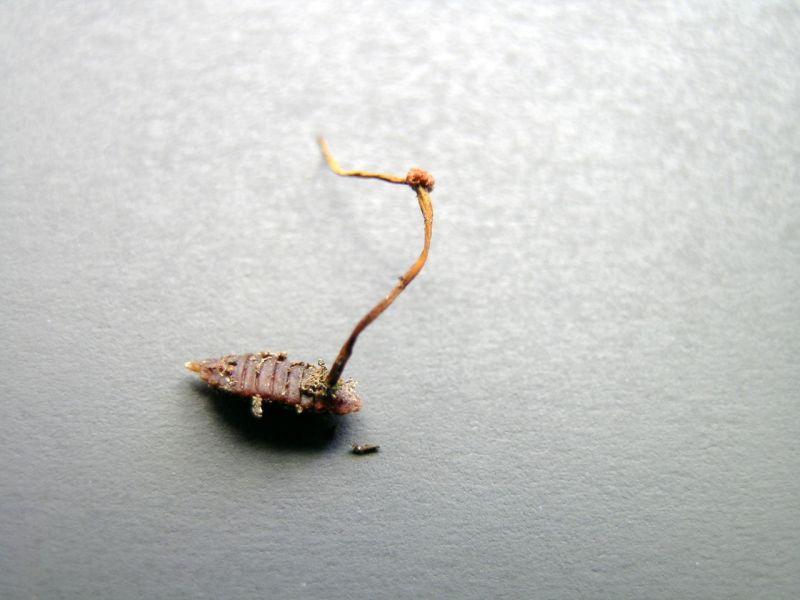 zombirovanie v prirode grib upravlyayushii nasekomymi 16 Зомбирование в природе: Гриб, управляющий насекомыми