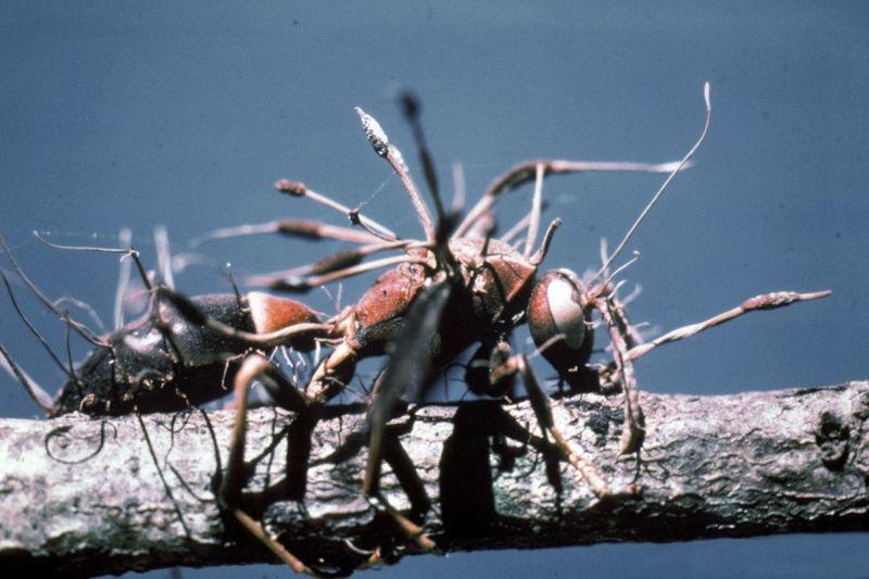 zombirovanie v prirode grib upravlyayushii nasekomymi 23 Зомбирование в природе: Гриб, управляющий насекомыми