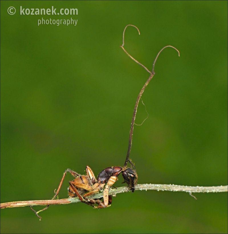 zombirovanie v prirode grib upravlyayushii nasekomymi 6 Зомбирование в природе: Гриб, управляющий насекомыми