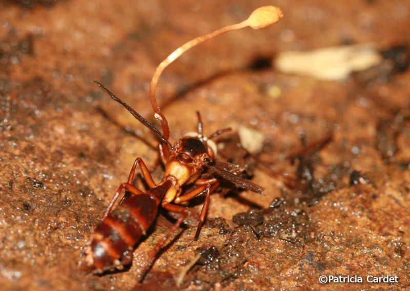 zombirovanie v prirode grib upravlyayushii nasekomymi 8 Зомбирование в природе: Гриб, управляющий насекомыми