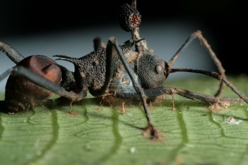 zombirovanie v prirode grib upravlyayushii nasekomymi Зомбирование в природе: Гриб, управляющий насекомыми