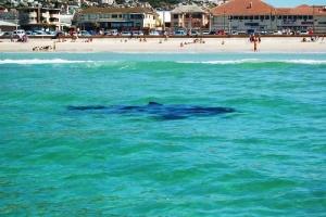 akula raspugala otdyhayushih na plyaje nedaleko ot rima Акула распугала отдыхающих на пляже недалеко от Рима