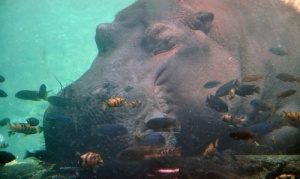 akvarium s begemotami otkrylsya v turine Аквариум с бегемотами открылся в Турине