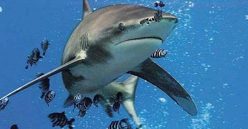 eshe odno napadenie akuly so smertelnym ishodom proizoshlo na reyunone Еще одно нападение акулы со смертельным исходом произошло на Реюньоне