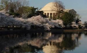 Фестиваль цветения сакуры пройдет в Вашингтоне