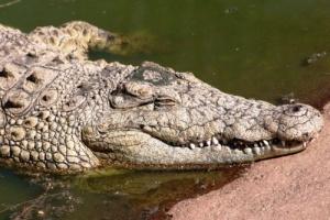 krokodil edva ne dognal turista v meksikanskom zapovednike Крокодил едва не догнал туриста в мексиканском заповеднике