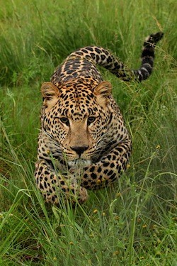 leopard ubil bolee 15 chelovek v nepale Леопард убил более 15 человек в Непале