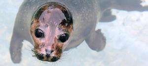 В Аквариуме Олесунна поселятся 15 тюленей