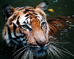 v indii snyali zapret na «tigrovyi turizm» В Индии сняли запрет на «тигровый туризм»