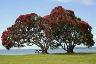 v novoi zelandii proidet festival dereva pohutukava В Новой Зеландии пройдет фестиваль дерева похутукава