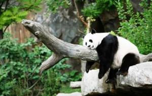 v zooparke helsinki mogut poselitsya pandy В зоопарке Хельсинки могут поселиться панды