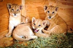 v zooparke helsinki rodilis tri lvenka В зоопарке Хельсинки родились три львенка