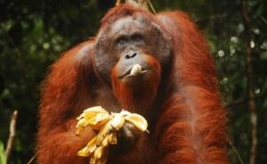 zoopark elche popolnilsya redkim orangutanom Зоопарк Эльче пополнился редким орангутаном