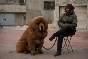 zoopark v kitae popytalsya vydat tibetskogo mastifa za lva Зоопарк в Китае попытался выдать тибетского мастифа за льва