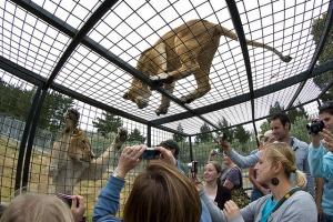 zoopark v kraistcherche predlagaet posmotret na lvov iz kletki Зоопарк в Крайстчерче предлагает посмотреть на львов из клетки