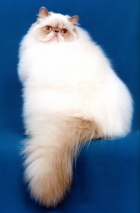 persidskaya koshka 198x300 Загадочные кошки