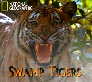 natgeoswamp tigers 300x267 Болотные тигры (Swamp Tigers)