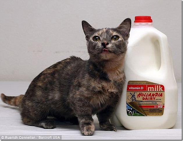 piksel koshka s samymi korotkimi lapkami v mire 2 Пиксель — кошка с самыми короткими лапками в мире