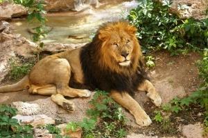 mujchina prygnul v voler so lvami v zooparke barselony Мужчина прыгнул в вольер со львами в зоопарке Барселоны