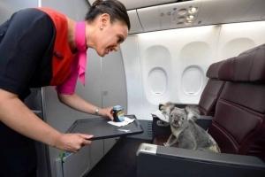 koala letit iz avstralii v singapur v biznes klasse Коала летит из Австралии в Сингапур в бизнес классе