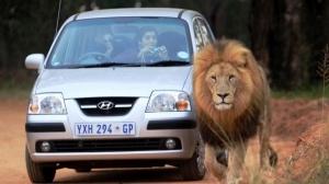 lev ubil turistku v yuar vo vremya safari Лев убил туристку в ЮАР во время сафари