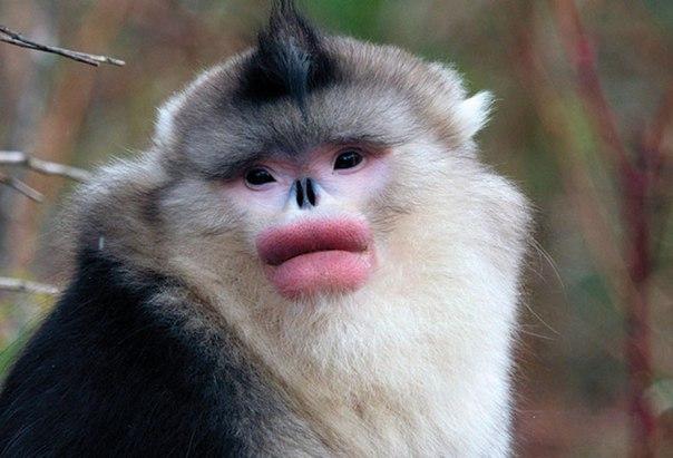 rinopiteki krasyat guby otpravlyayas na svidanie Ринопитеки «красят» губы, отправляясь на свидание