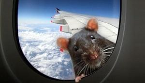 passajirskii samolet ekstrenno prizemlilsya iz za krysy na bortu Пассажирский самолет экстренно приземлился из за крысы на борту