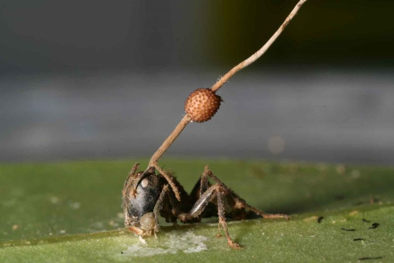 zombirovanie v prirode grib upravlyayushii nasekomymi 12 Зомбирование в природе: Гриб, управляющий насекомыми