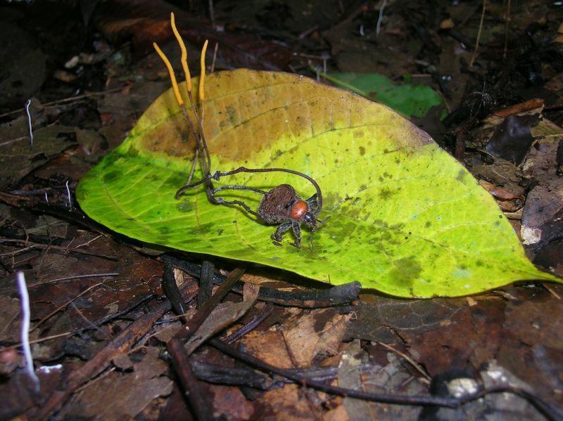 zombirovanie v prirode grib upravlyayushii nasekomymi 17 Зомбирование в природе: Гриб, управляющий насекомыми