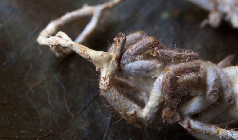 zombirovanie v prirode grib upravlyayushii nasekomymi 20 Зомбирование в природе: Гриб, управляющий насекомыми