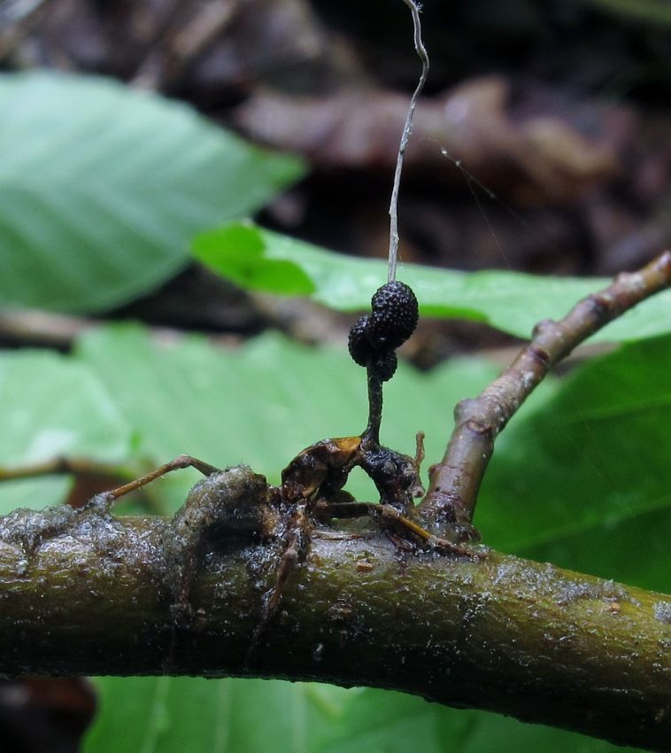zombirovanie v prirode grib upravlyayushii nasekomymi 3 Зомбирование в природе: Гриб, управляющий насекомыми