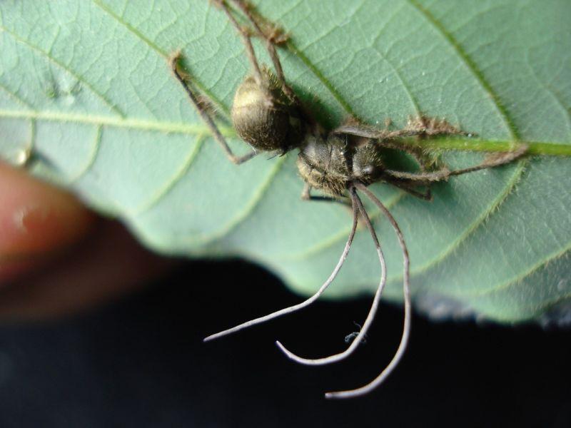 zombirovanie v prirode grib upravlyayushii nasekomymi 5 Зомбирование в природе: Гриб, управляющий насекомыми