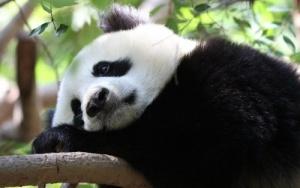 iz zooparka gelzenkirhena propali pandy Из зоопарка Гельзенкирхена пропали панды